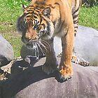 Tiger by Chris Hanlon