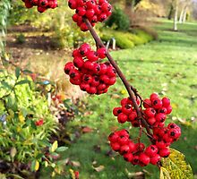 Red Berries by hootonles