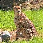 Cheetah by Chris Hanlon