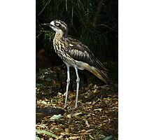 Bush thick knee. Photographic Print