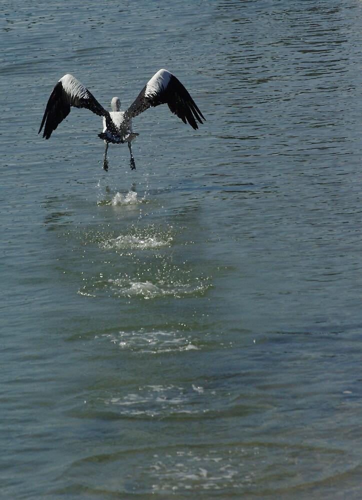 Pelican Take off by Robert Kiesskalt