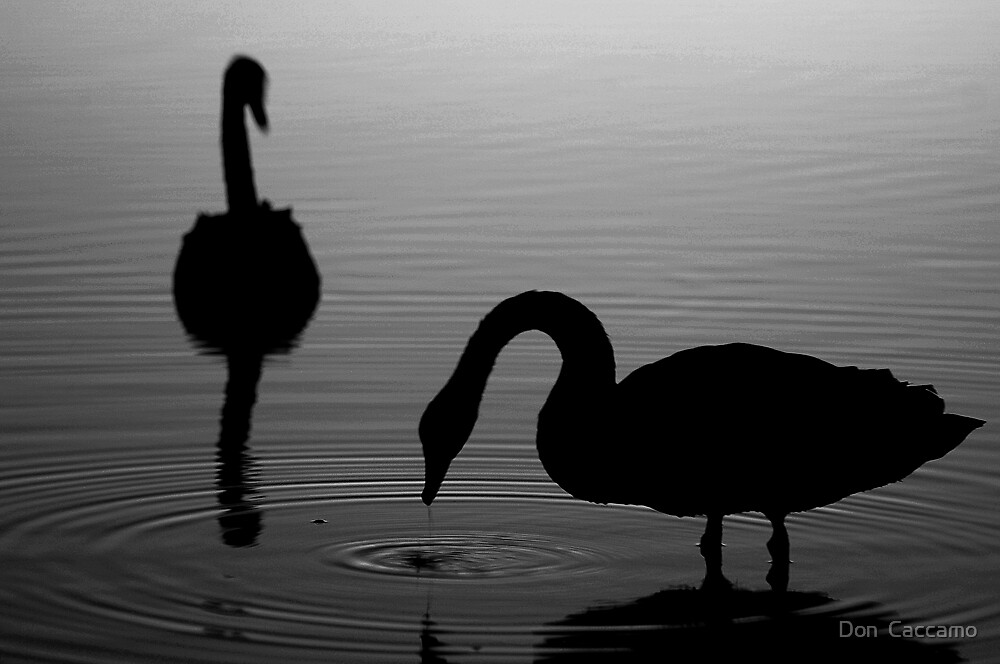 Swans by Don  Caccamo