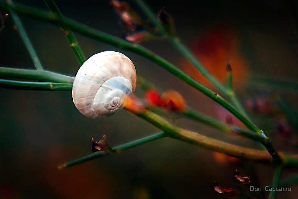 Snail by Don  Caccamo