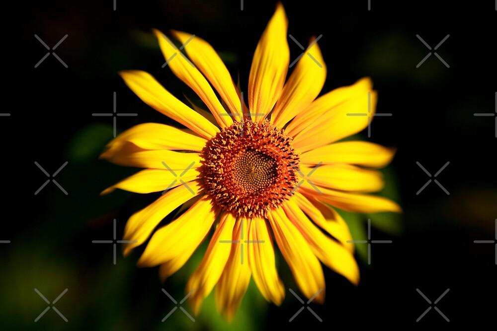 Sunflower by Ben Pacificar