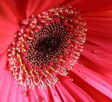 Inside a Gerbera by Martie Venter