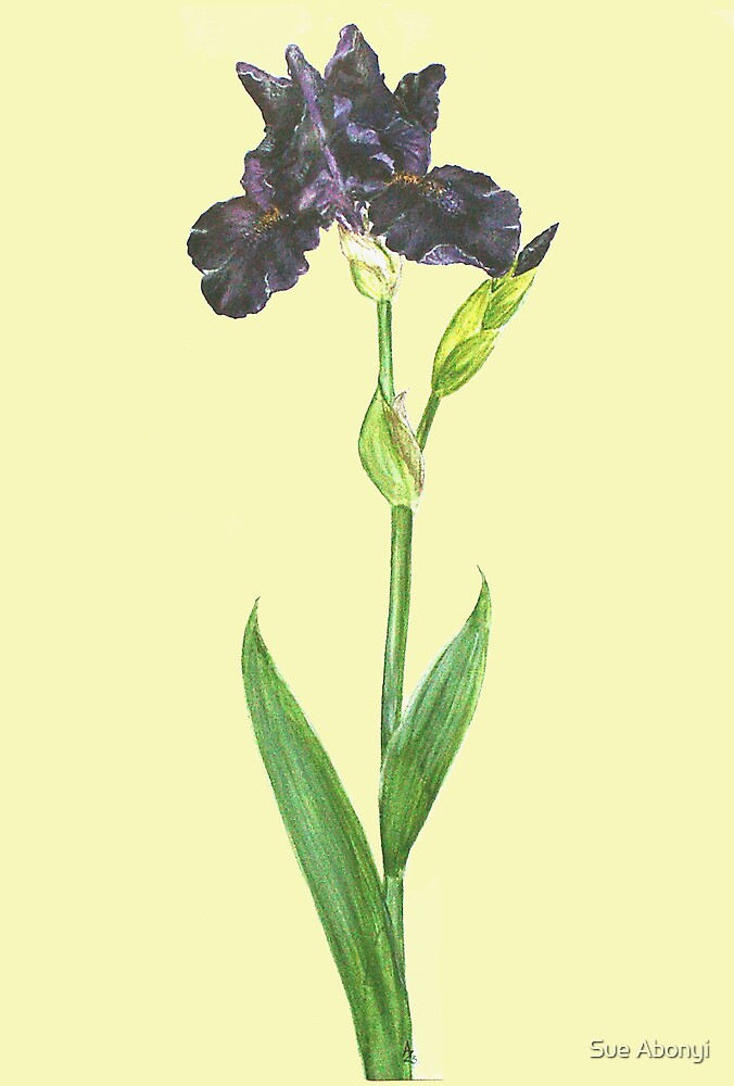 Siberian Iris - Iris sibirica by Sue Abonyi