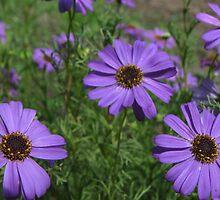 purple daisies by Roboftheland
