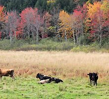 Cows Hangin Around In The Fall by jonathaninvermont