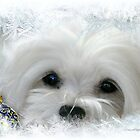 Snowdrop the Maltese of the Frozen North ! by Morag Bates