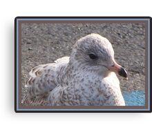 Freckled Gull Canvas Print