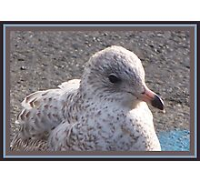 Freckled Gull Photographic Print