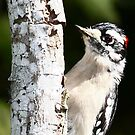 Woodpecker by Sam Hanie