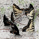 Butterflies by Sam Hanie