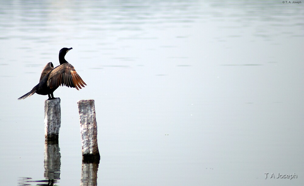 Great Cormorant by T A Joseph