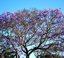 Jacaranda Glory by Rhapsody