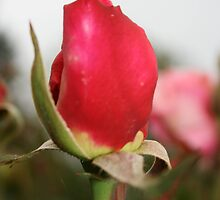 rose bud by andyruh