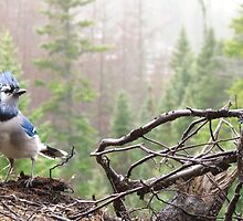 Bird Photograph, Blue Jay Picture by nerdywithnature