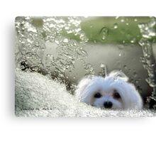 Snowdrop the Maltese - Please May I Come In ? Canvas Print