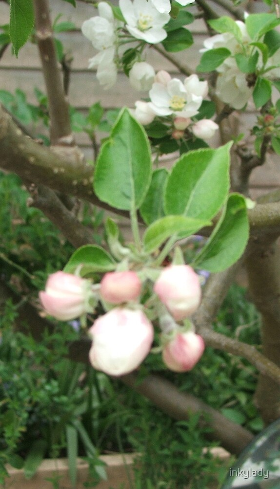 apple blossom buds by inkylady