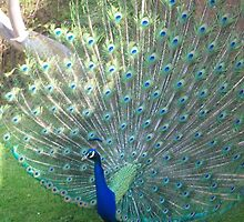 pretty peacock by Louise Masters