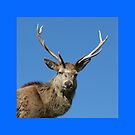 Stag face by beavo