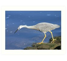 White faced heron Art Print