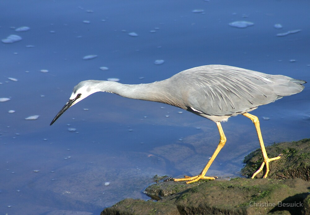 White faced heron by Christine Beswick