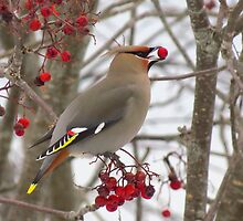 Bohemian Waxwing Photography  by nerdywithnature