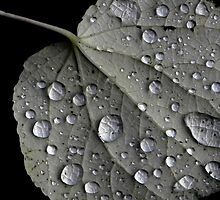 Rain Drops on a Leaf by M. van Oostrum
