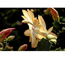 Christmas Cactus - White Swan Floral Photographic Print