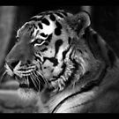tiger 05 by Kittin