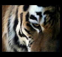 tiger 07 by Kittin