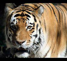 tiger 08 by Kittin