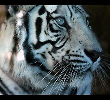 tiger 11 by Kittin