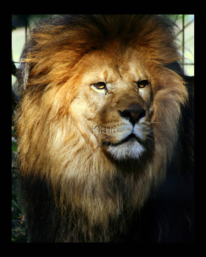 lion 01 by Kittin