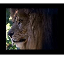 lion 05 Photographic Print