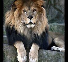 lion 08 by Kittin
