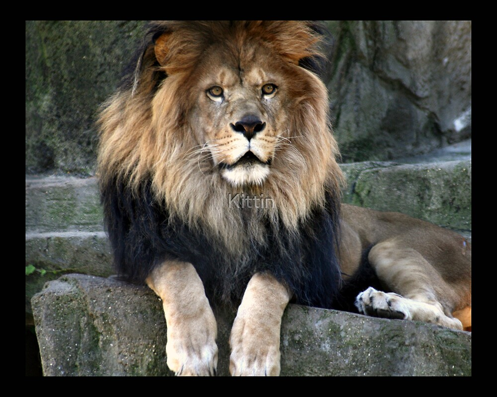 lion 07 by Kittin