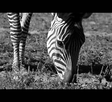 zebra 03 by Kittin