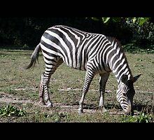 zebra by Kittin