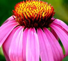 Purple Coneflower by Luis Correia