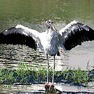 Wood Stork by Sam Hanie