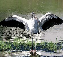 Wood Stork by Sam Hanie