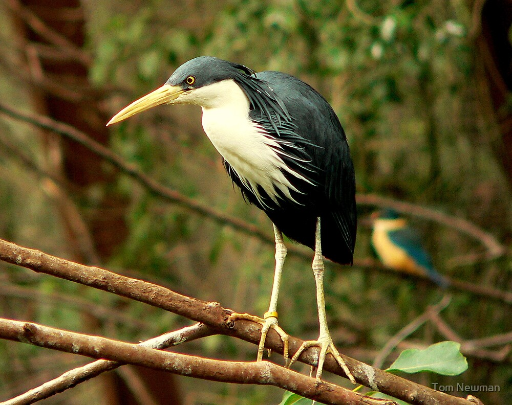 Pied Heron by Tom Newman