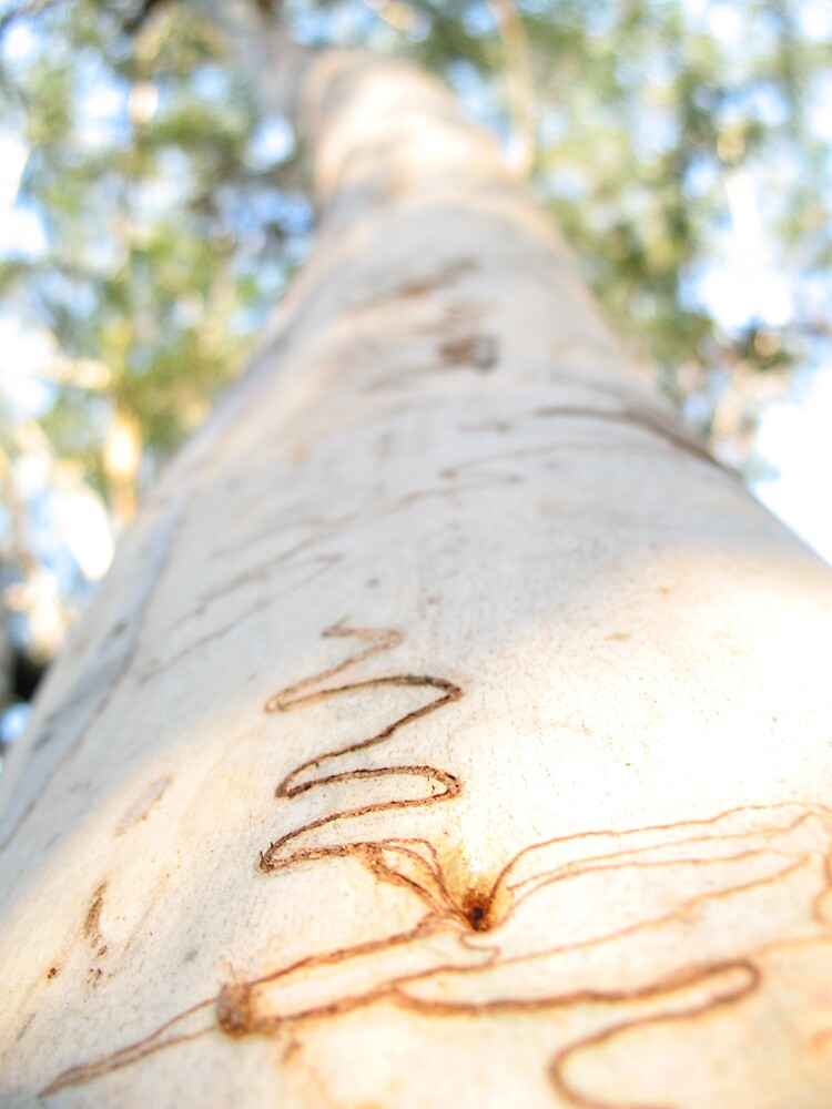 Scribbly gum.  by Ross James