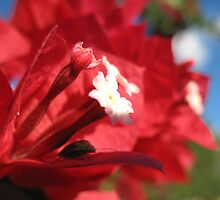 Bourgainvillea with leaf hopper. by Ross James