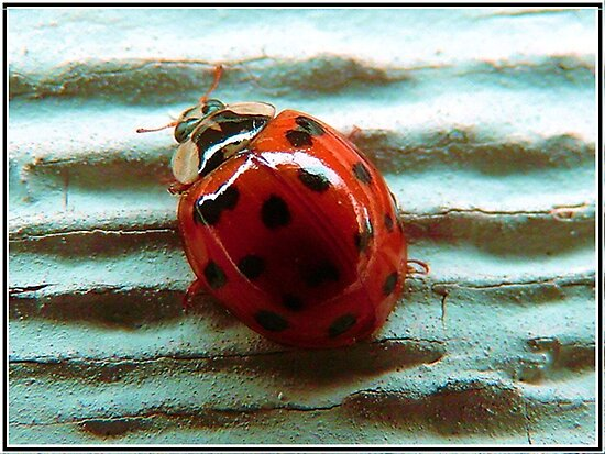 Lady Bug in HD by Danielle LaBerge