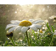 Daisies in the Mist Photographic Print