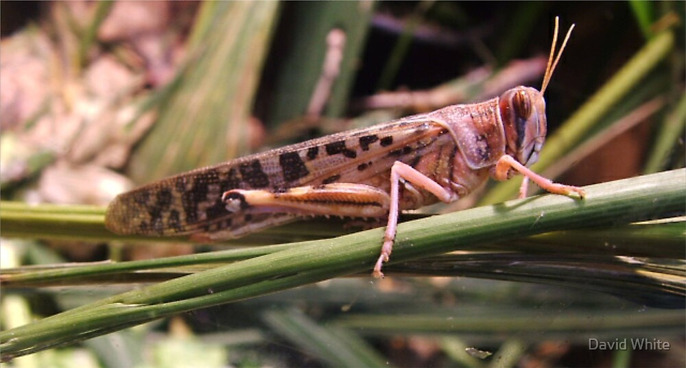 Sad Locust by David White