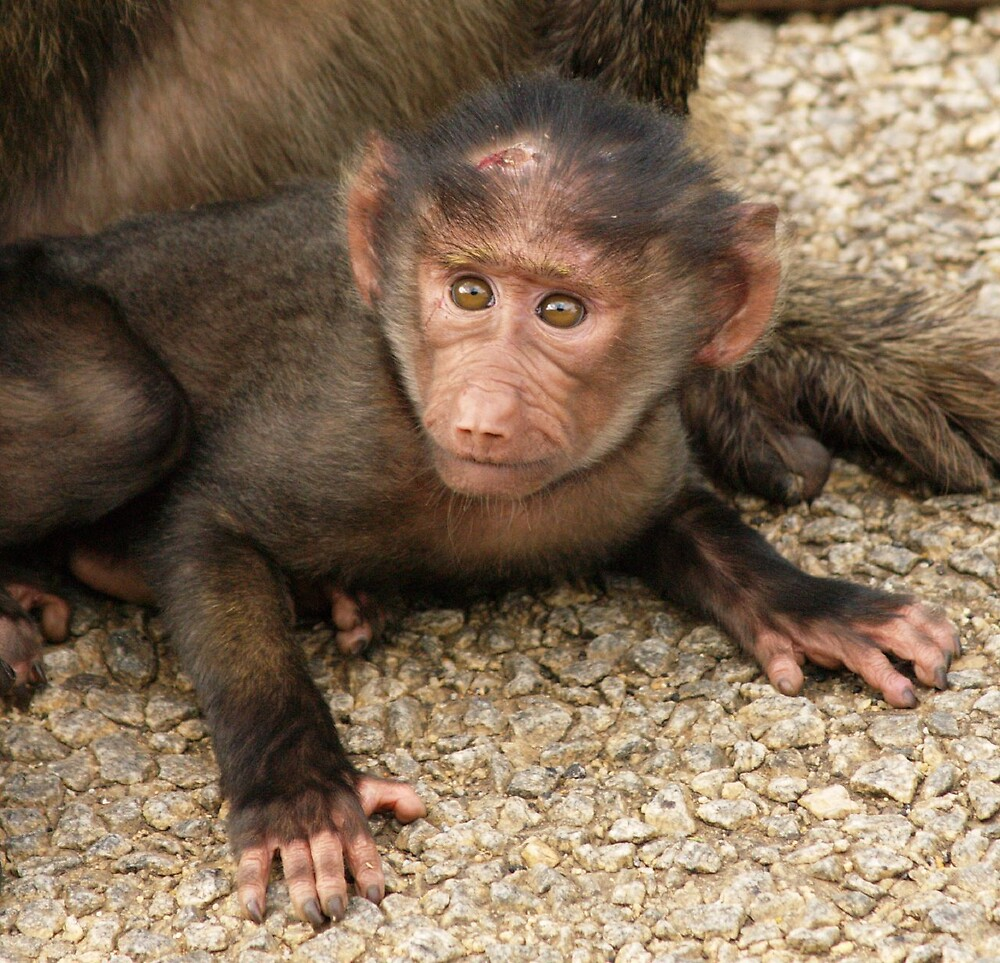 Baby Baboon by chrissydolson